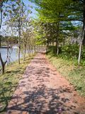 Bauhinia vert d'arbres de traînée Image libre de droits