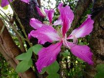 Bauhiniapurpurea Arkivbilder