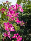 Bauhiniapurpurea 003 Royaltyfri Foto
