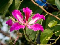 Bauhiniapurpurea 002 arkivbilder
