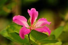 Bauhiniapurpurea Royalty-vrije Stock Fotografie