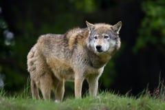 Bauholz-Wolf
