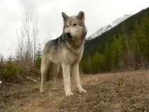 Bauholz-Wolf lizenzfreie stockbilder