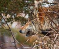 Bauholz-Wolf-Blick-heraus - Pinsel Stockfotos
