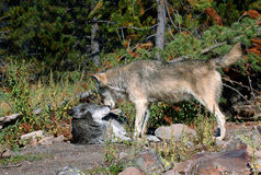 Bauholz-Wolf-Konfrontation - weit Stockfoto