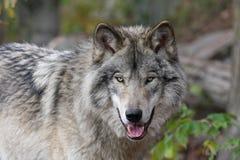 Bauholzwolf Lizenzfreie Stockfotos