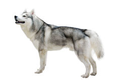 Bauholzwolf lizenzfreie stockbilder