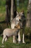 Bauholzwolf mit ihrem Welpen Stockfotografie