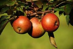 Baum-Äpfel Lizenzfreies Stockbild