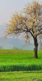 Baum über Weizenfeld Stockfoto