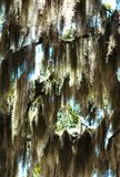 Baum 02 des spanischen Mooses Stockfotografie