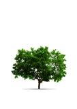Baum lizenzfreie stockfotos