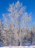 Baum abgedeckt durch Schnee im sibirischen Wald Stockbild