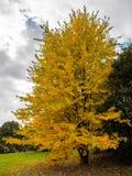 Baum Acers Soccharinum Lizenzfreie Stockfotos