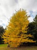 Baum Acers Soccharinum Lizenzfreies Stockbild