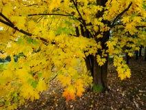 Baum Acers Soccharinum Stockbild
