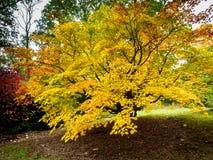 Baum Acers Soccharinum Lizenzfreie Stockfotografie