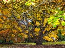 Baum Acers Soccharinum Lizenzfreies Stockfoto