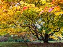 Baum Acers Soccharinum Stockfotos