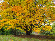 Baum Acers Soccharinum Lizenzfreie Stockbilder