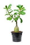 Baum Adenium auf dem schwarzen Topf lokalisiert Lizenzfreie Stockfotografie