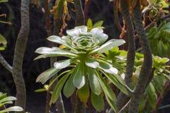 Baum Aeonium (Aeonium arboreum) Lizenzfreie Stockfotografie