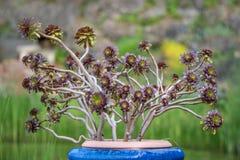 Baum Aeonium in einem blauen Topf Lizenzfreie Stockfotos