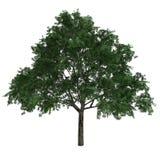 Baum Aesculus Glabra Lizenzfreie Stockfotos