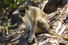 Baum-Affe in St. Kitts Lizenzfreie Stockfotos