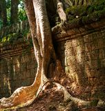 Baum in Angkor stockfotos