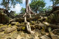 Baum in Angkor lizenzfreie stockfotografie