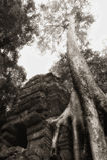 Baum am Angkor Tempel Stockfotos