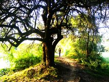 Baum in Anuradhapura, Sri Lanka lizenzfreies stockbild
