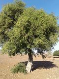 Baum-Argan Stockfoto
