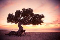 Baum Arubas Divi Divi bei Sonnenuntergang Stockbilder
