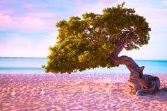 Baum Arubas Divi Divi bei Sonnenuntergang Stockbild