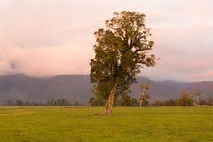 Baum auf Ackerland des grünen Glases, Neuseeland Stockfotografie
