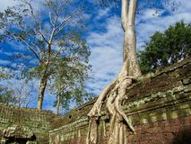 Baum auf altem Tempel in Kambodscha stockfoto