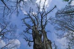 Baum auf blauem Himmel stockbilder