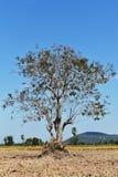 Baum auf Boden auf dem Reisgebiet unter blauem Himmel Lizenzfreie Stockfotos
