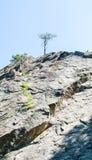 Baum auf dem Berg in Korsika Stockbild