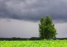 Baum auf dem Feld vor Regen Stockbild