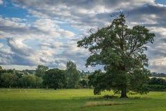 Baum auf dem Gebiet mit Schafen Stockbilder