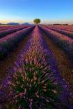 Baum auf dem Lavendelgebiet bei Sonnenuntergang stockfoto