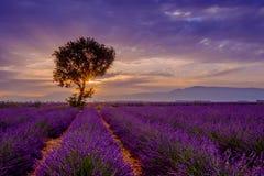 Baum auf dem Lavendelgebiet bei Sonnenuntergang stockbilder