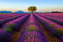 Baum auf dem Lavendelgebiet bei Sonnenuntergang stockbild