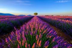 Baum auf dem Lavendelgebiet bei Sonnenuntergang lizenzfreie stockfotos