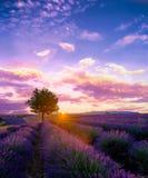 Baum auf dem Lavendelgebiet bei Sonnenuntergang in Provence lizenzfreie stockbilder