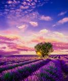 Baum auf dem Lavendelgebiet bei Sonnenuntergang in Provence lizenzfreie stockfotos
