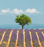 Baum auf dem Lavendelgebiet, Provence, Frankreich stockbild